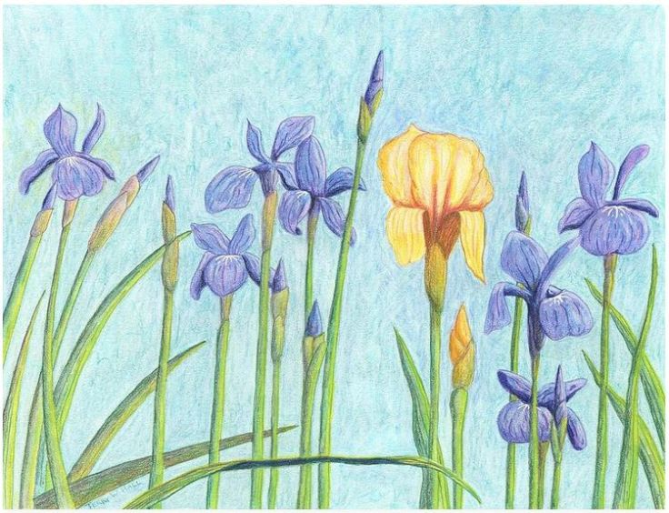 Irises - A German in Siberia